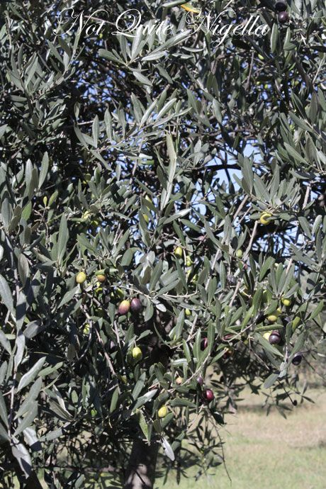 All About Olive Oil - Behind the Scenes of How Olive Oil is Made & Judged