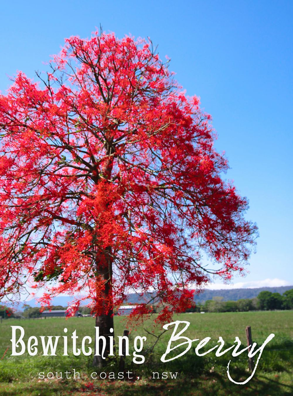 Bewitching Berry, NSW