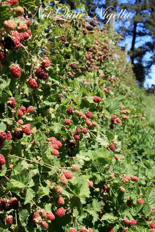 huntley berry bush