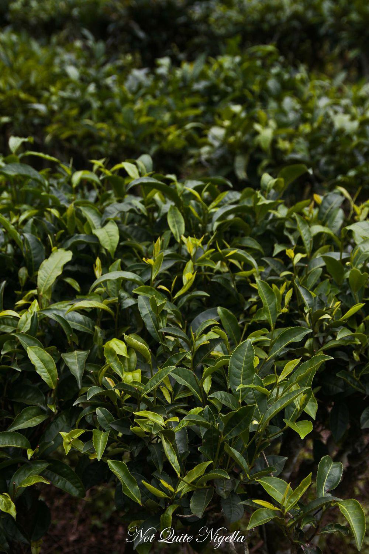 puer tea-36