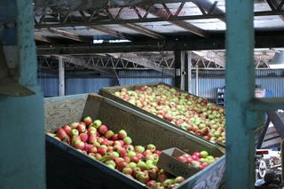 Logan Brae apples