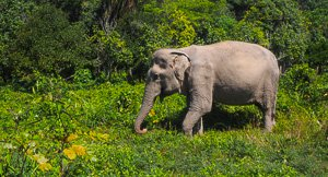 Elephus Maximus - Phuket Elephant Sanctuary