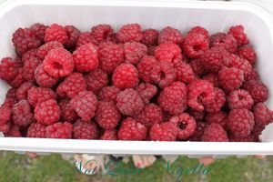 Pick Your Own Raspberries, Nelson, New Zealand